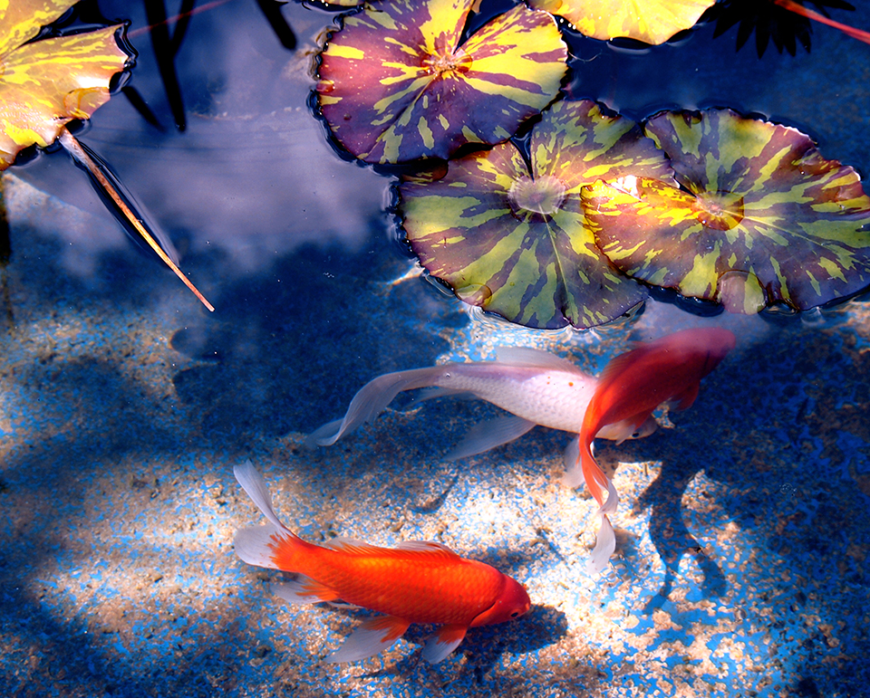 Landscape design services sacramento landscaping service for Carpe koi aquarium 300 litres