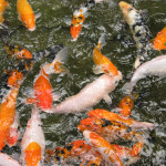 Koi Ponds Landscape installation Placer County
